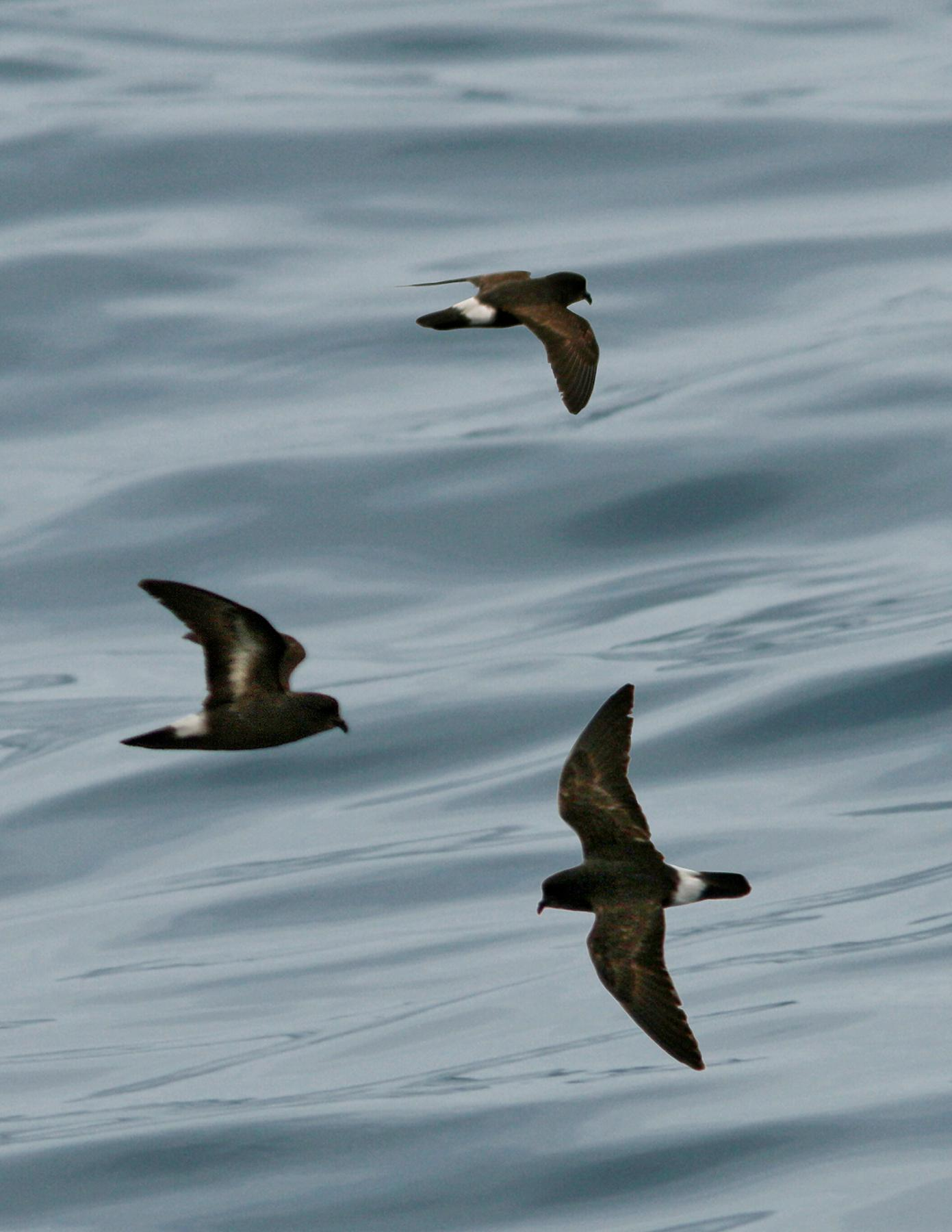 European Storm Petrel wallpaper