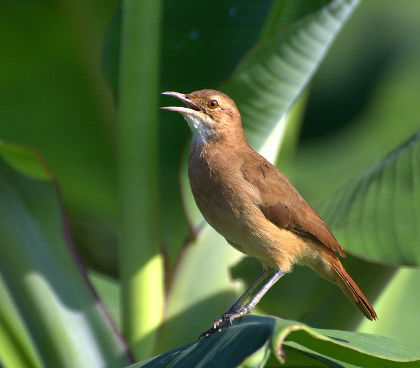 Rufous Hornero wallpaper