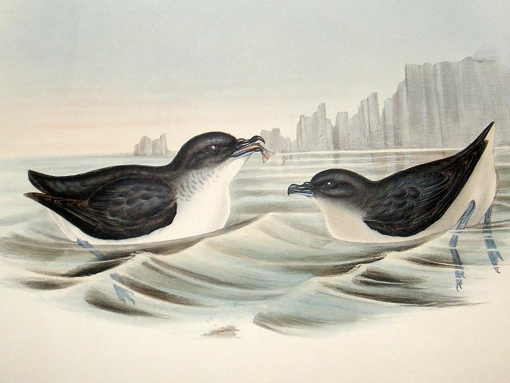 Common Diving Petrel wallpaper