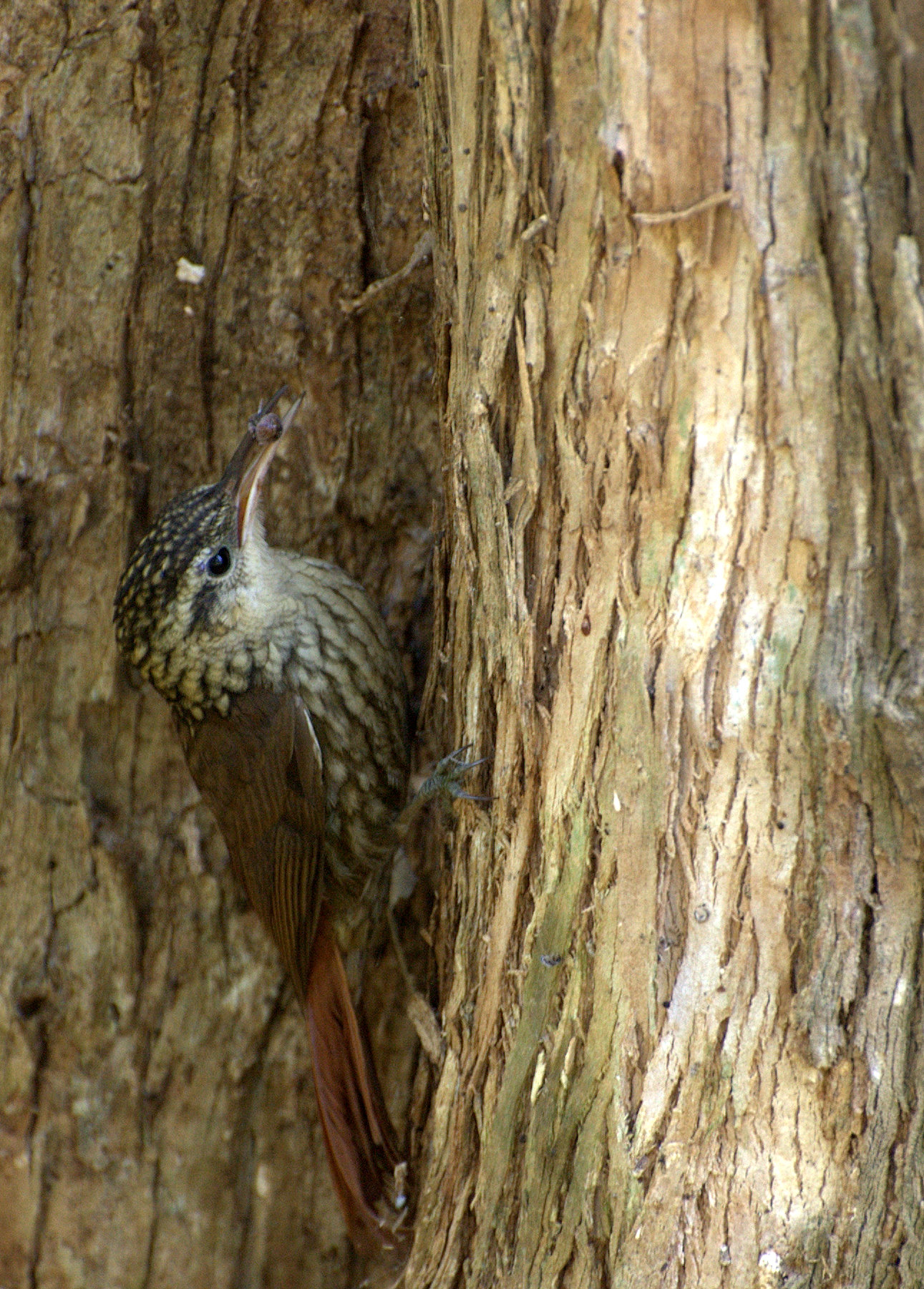 Scalloped Woodcreeper wallpaper