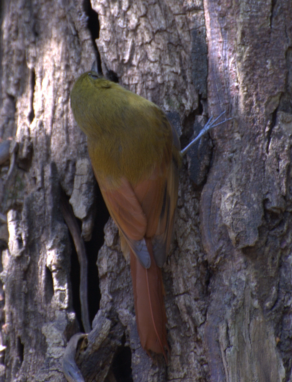 Olivaceous Woodcreeper wallpaper