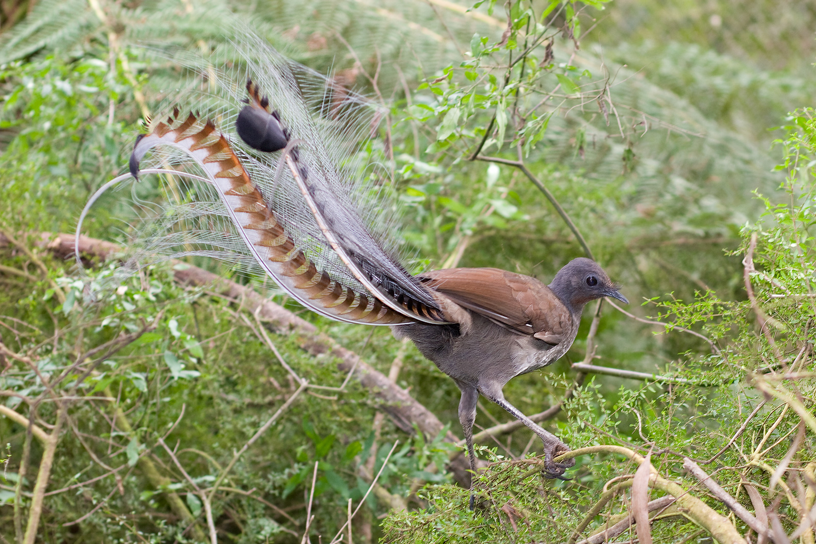 Superb Lyrebird wallpaper