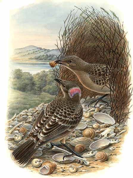 Great Bowerbird wallpaper