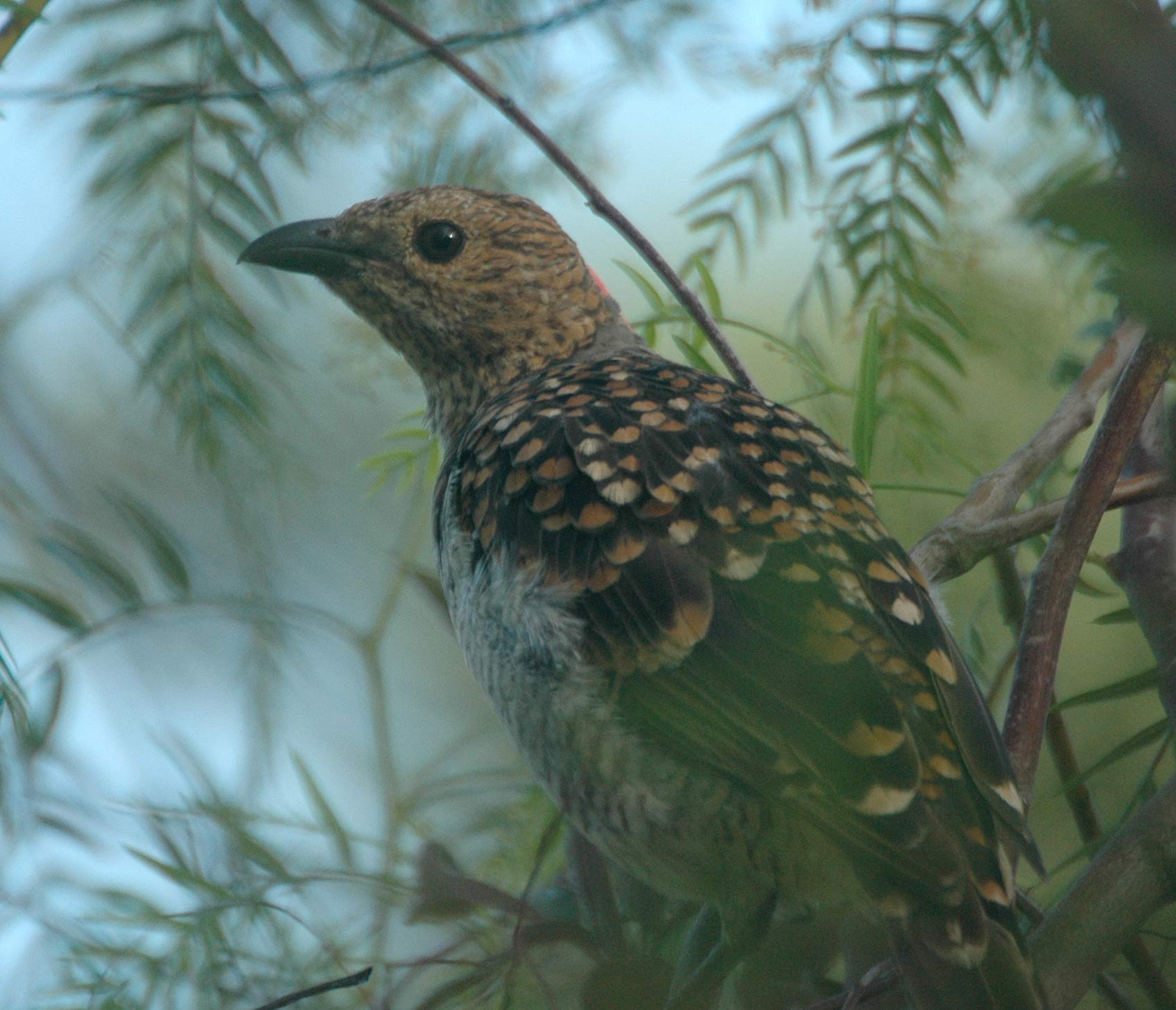 Spotted Bowerbird wallpaper