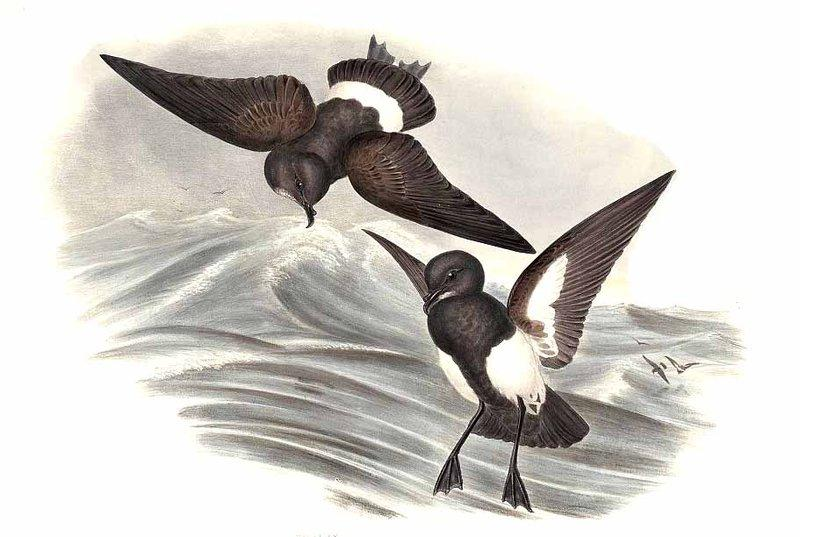 Black-bellied Storm Petrel wallpaper