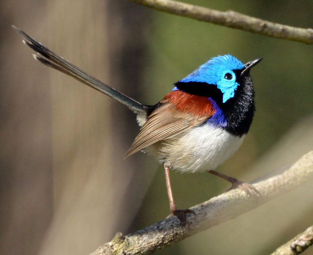 Variegated Fairy-wren wallpaper