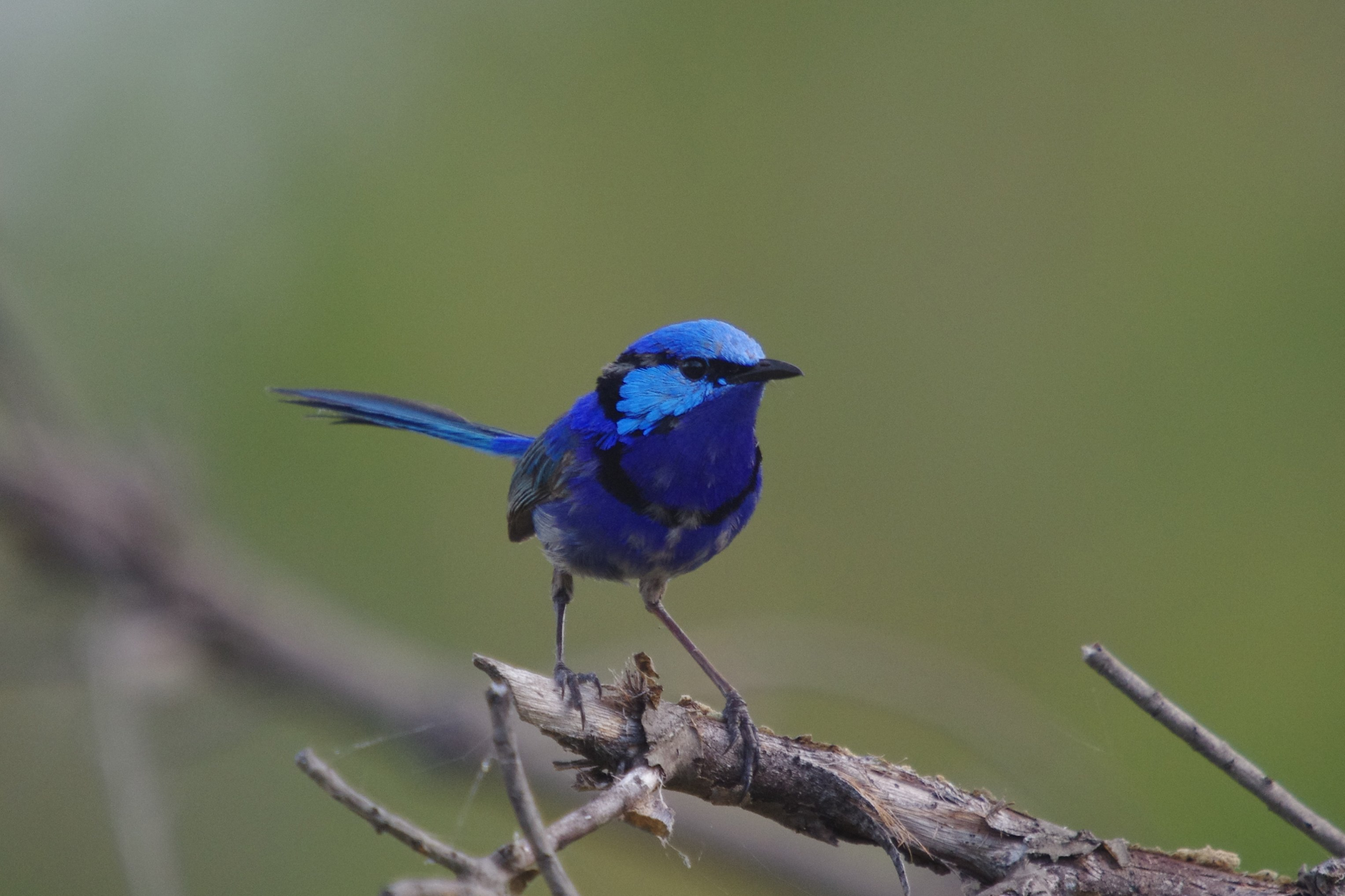 Splendid Fairy-wren wallpaper