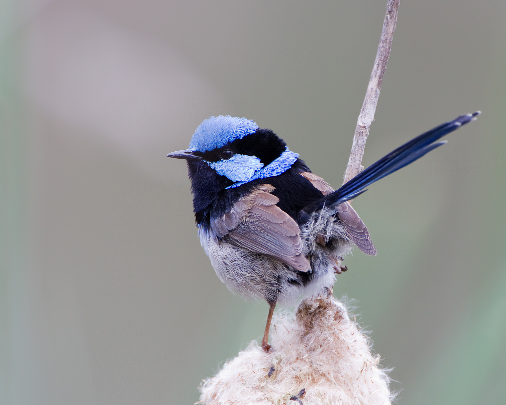 Superb Fairy-wren wallpaper