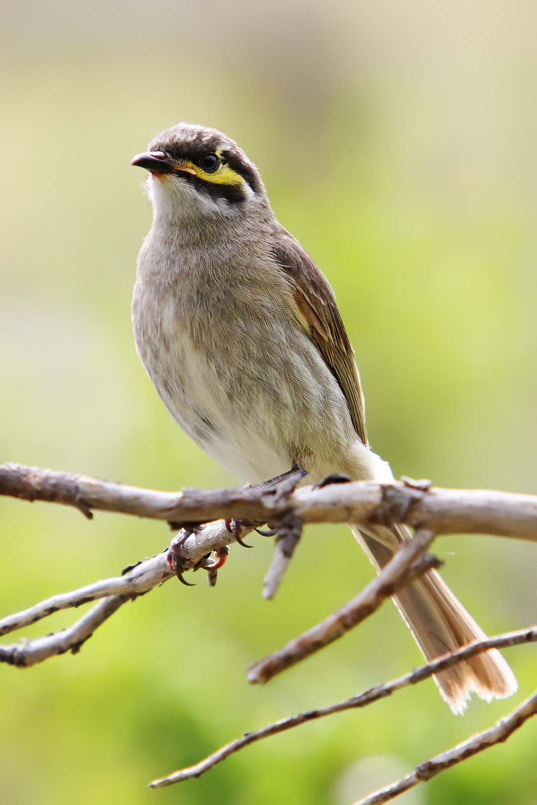 Yellow-faced Honeyeater wallpaper