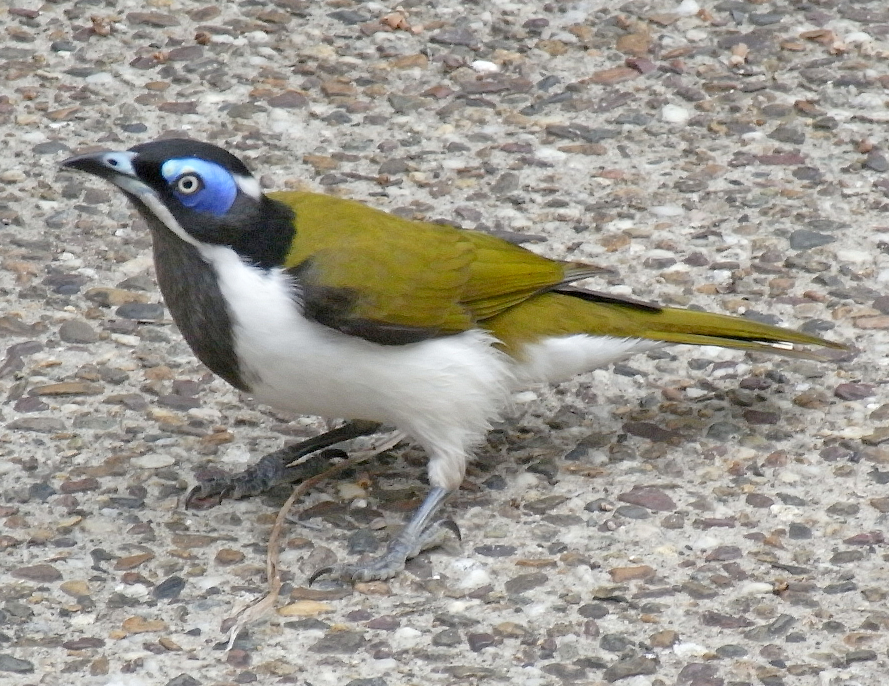 Blue-faced Honeyeater wallpaper