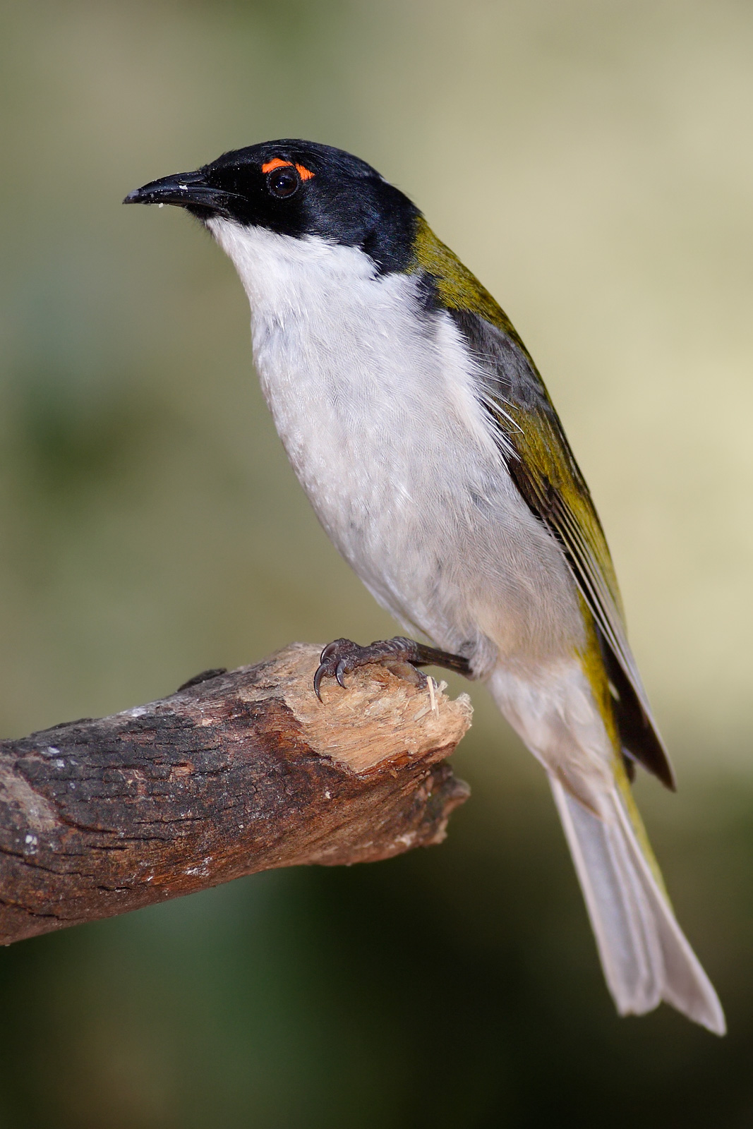 White-naped Honeyeater wallpaper
