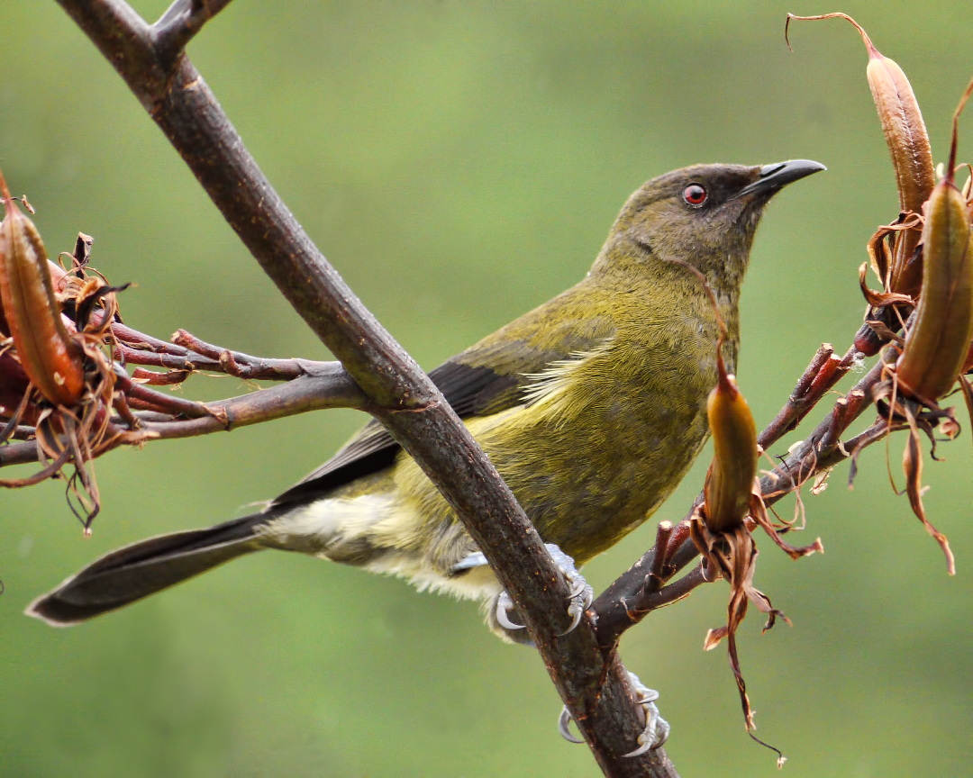 New Zealand Bellbird wallpaper