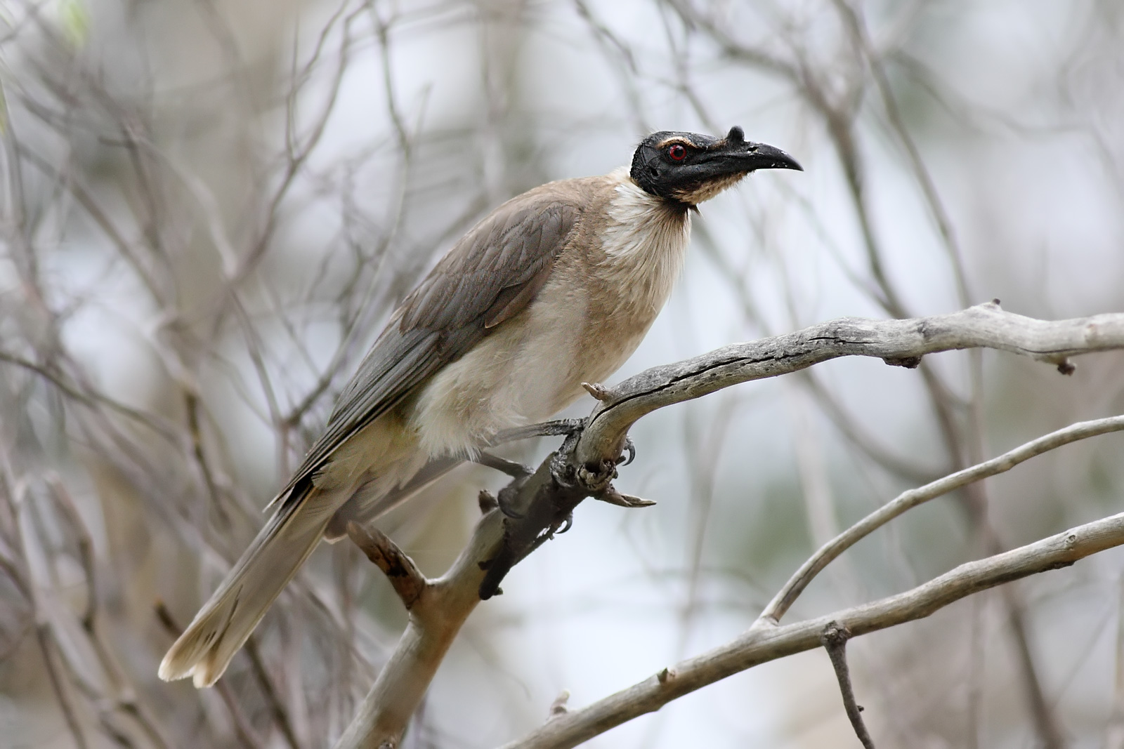 Noisy Friarbird wallpaper