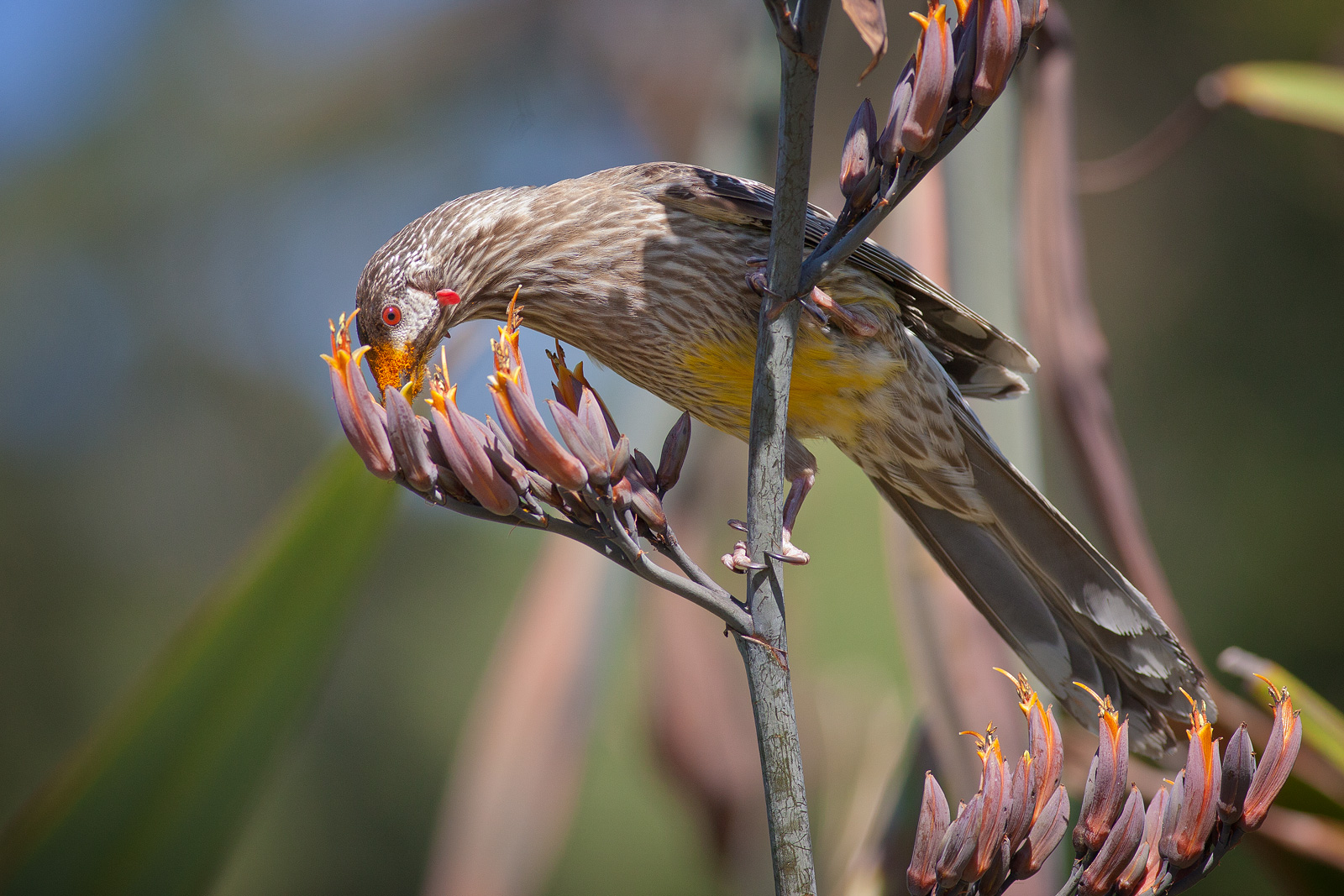 Red Wattlebird wallpaper