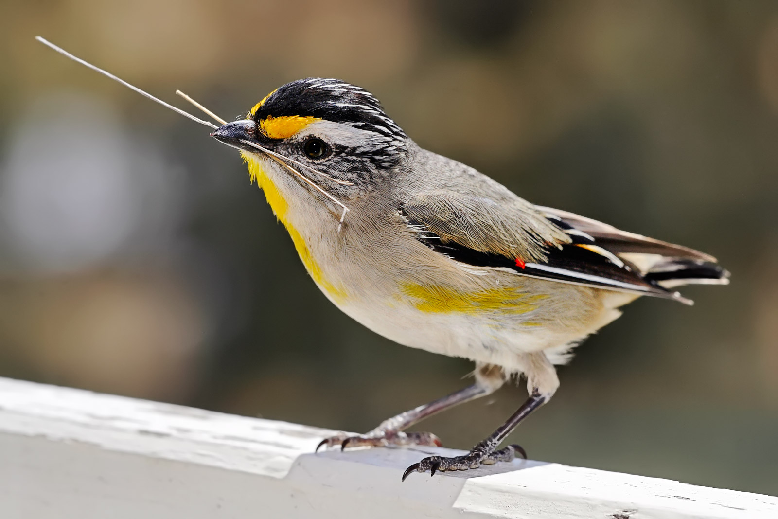 Striated Pardalote wallpaper