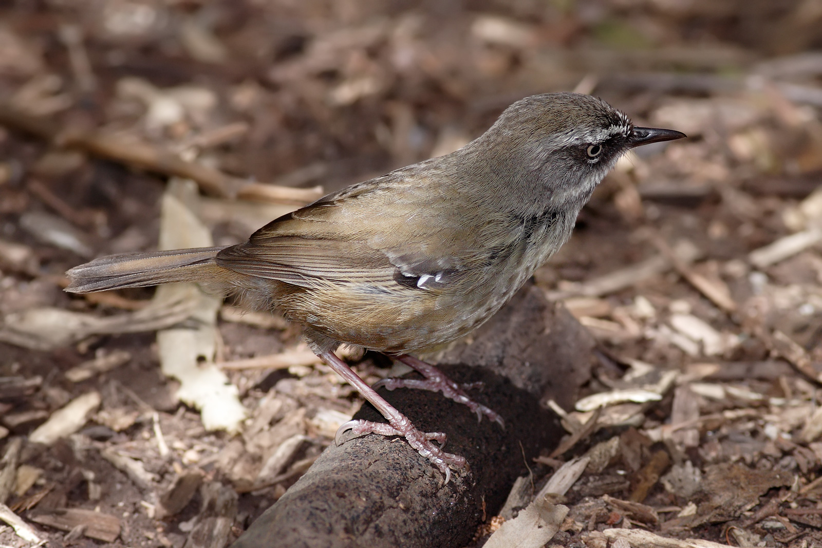 White-browed Scrubwren wallpaper
