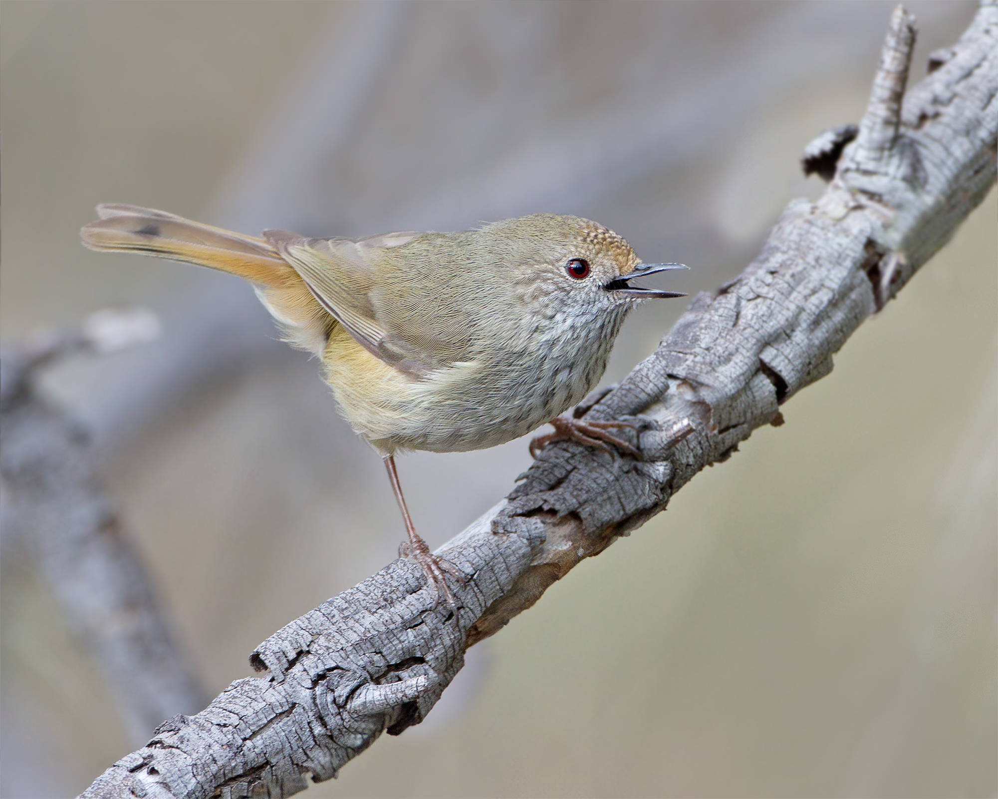 Brown Thornbill wallpaper