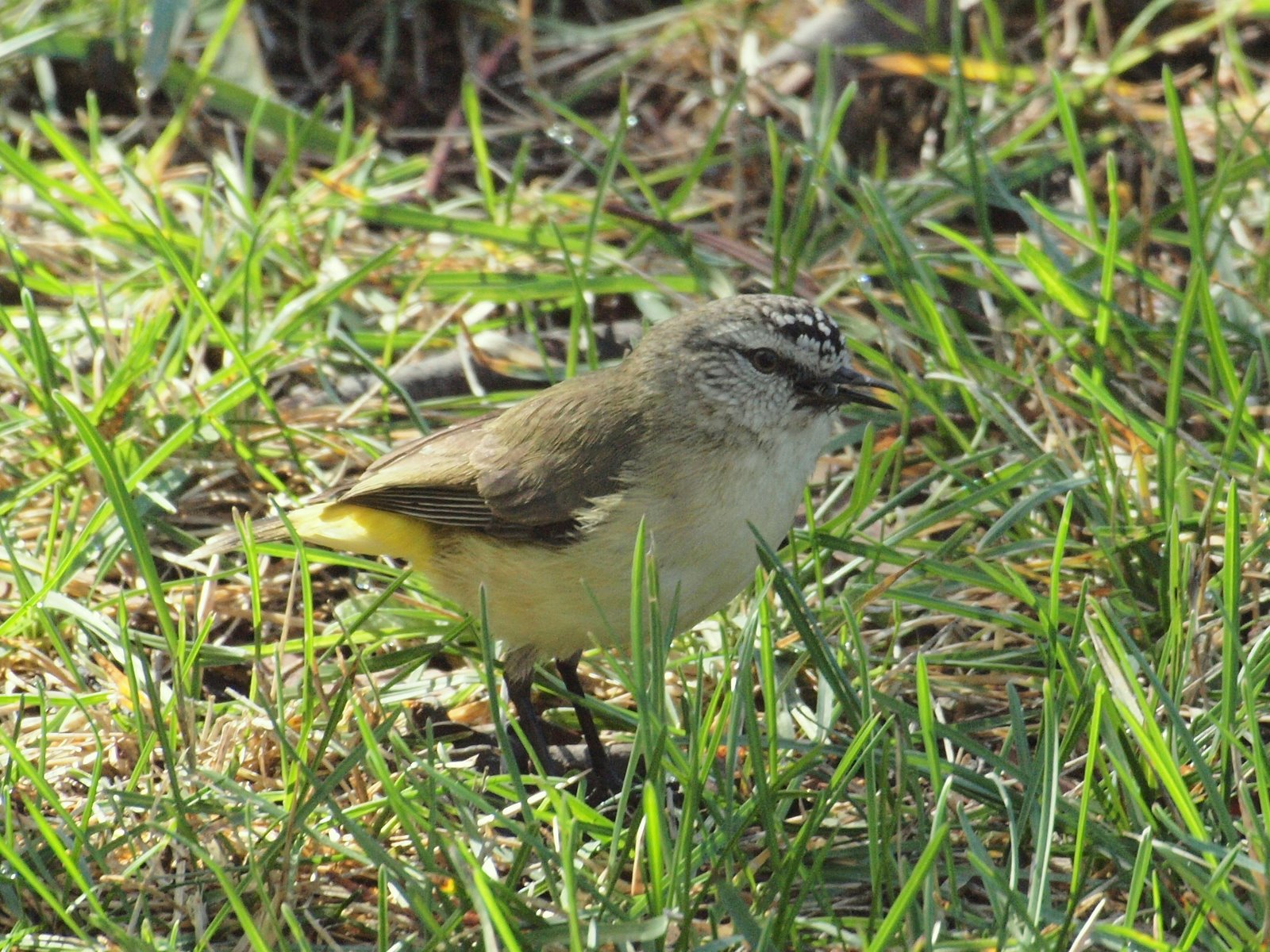 Yellow-rumped Thornbill wallpaper