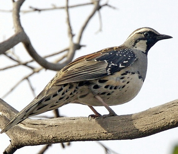 Spotted Quail-thrush wallpaper