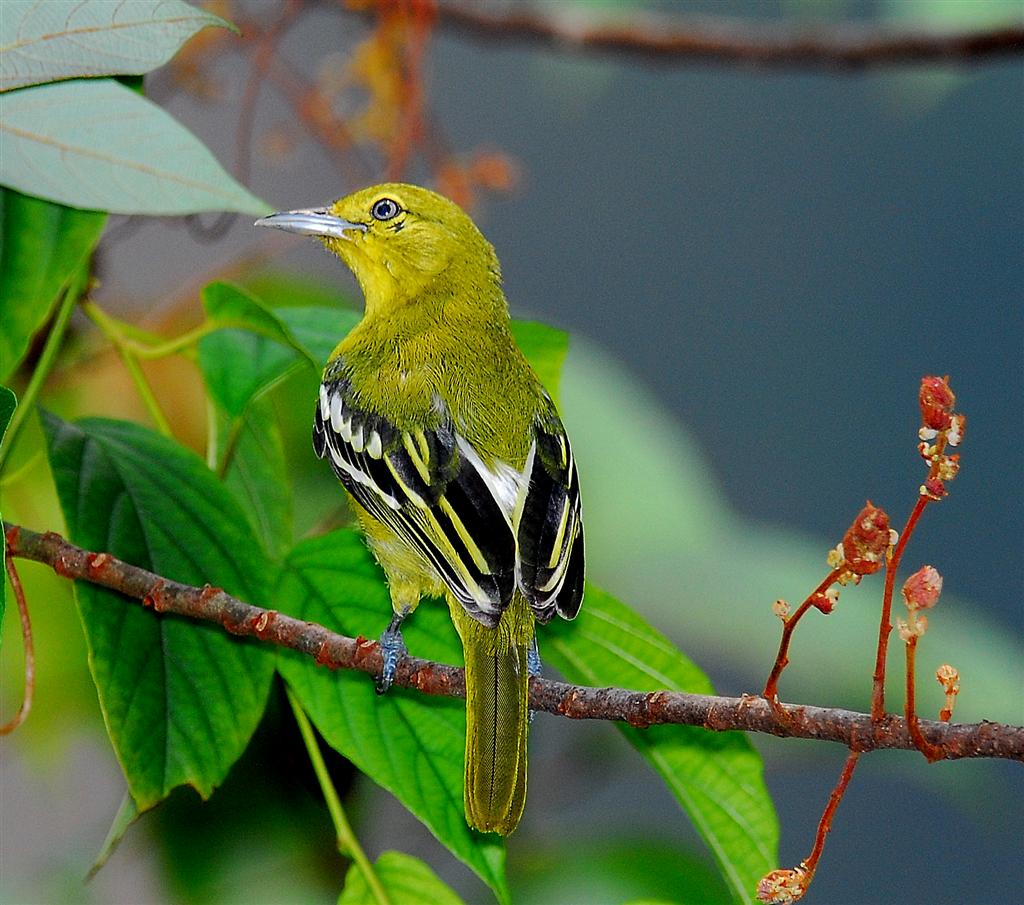Common Iora wallpaper
