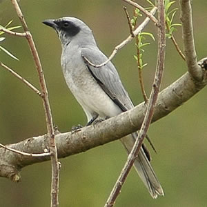 Black-faced Cuckoo-shrike wallpaper