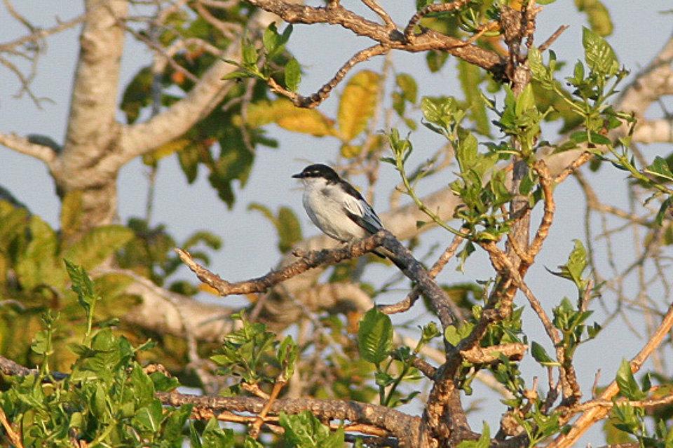 White-shouldered Triller wallpaper