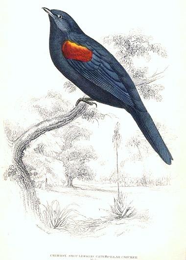 Red-shouldered Cuckoo-shrike wallpaper