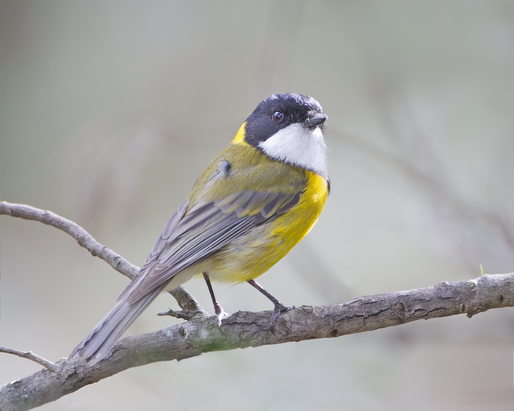 Golden Whistler wallpaper