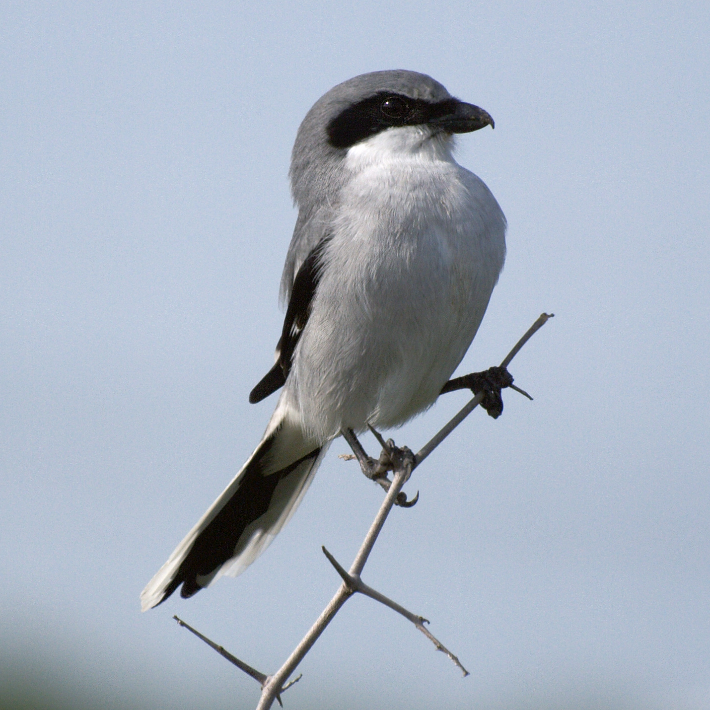 Loggerhead Shrike wallpaper