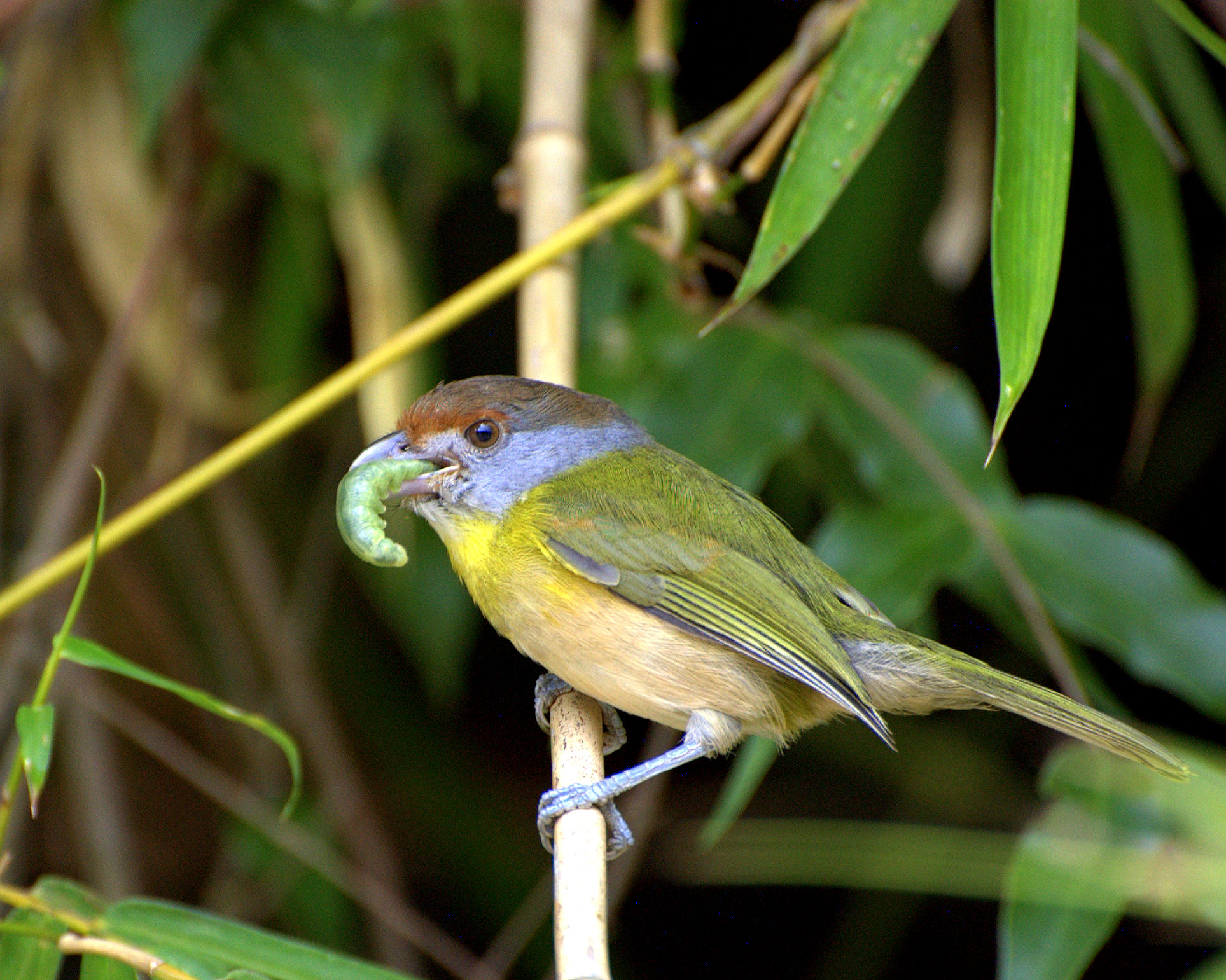 Rufous-browed Peppershrike wallpaper