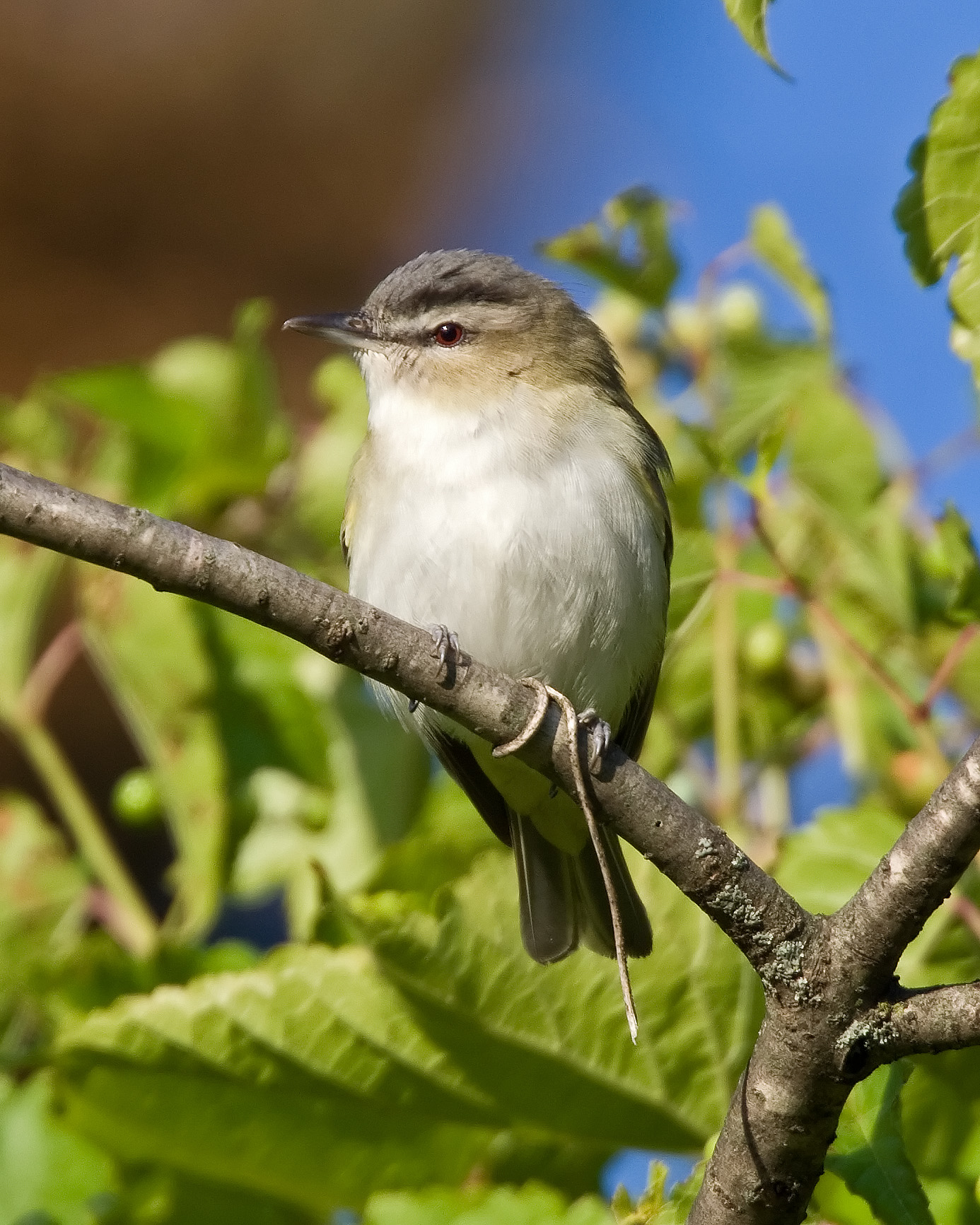 Red-eyed Vireo wallpaper
