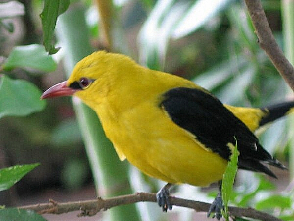 Golden Oriole wallpaper