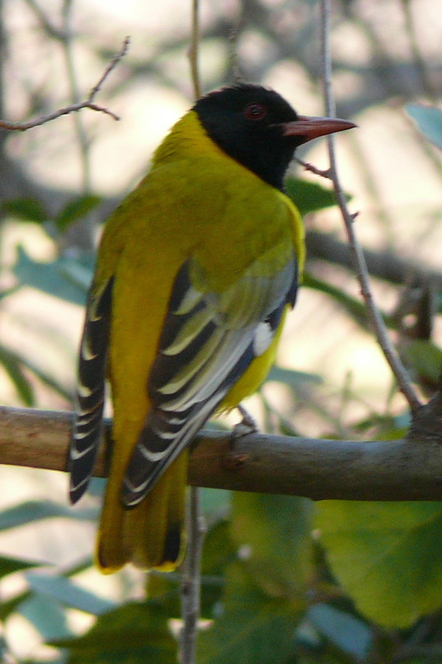 African Black-headed Oriole wallpaper