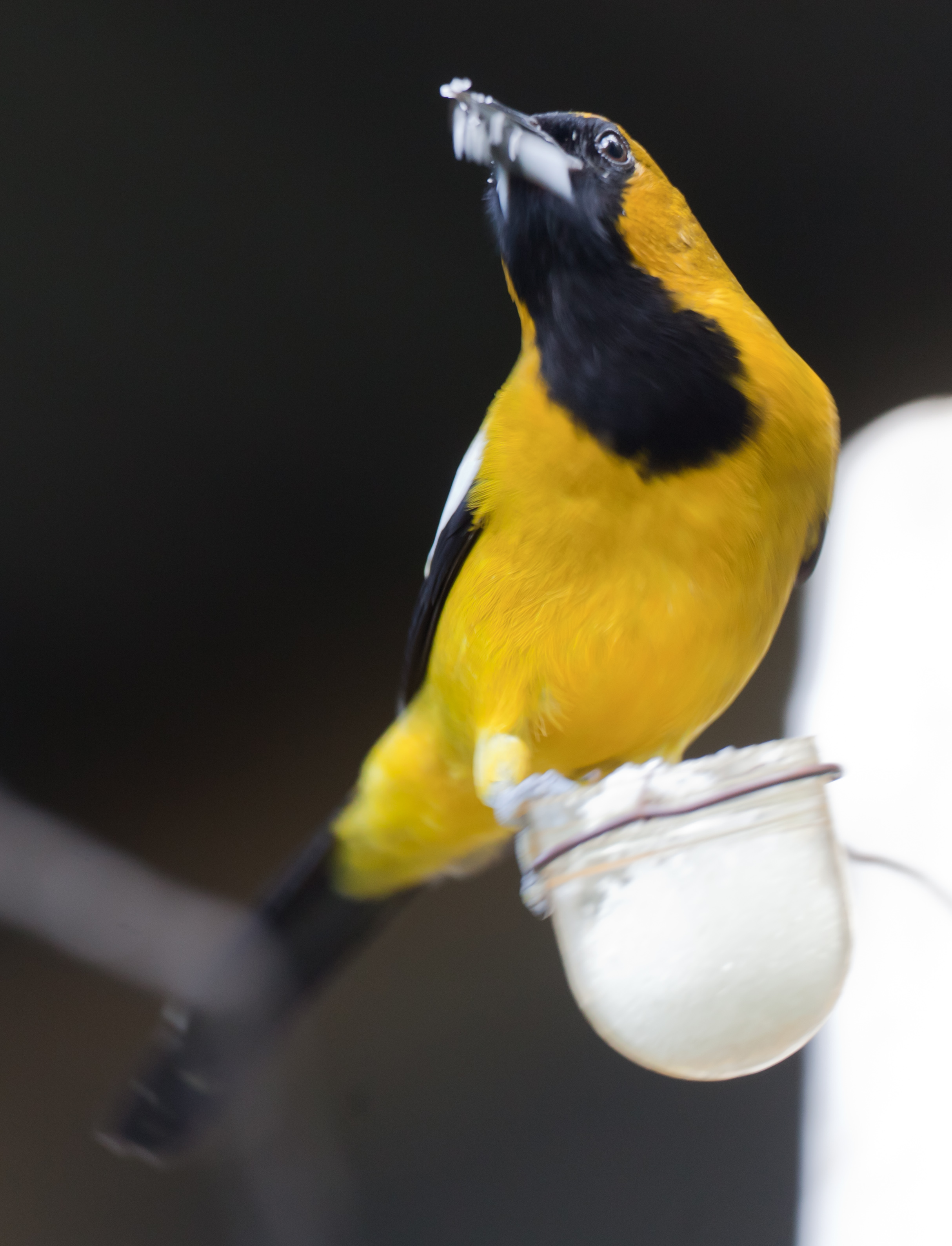 Jamaican Oriole wallpaper