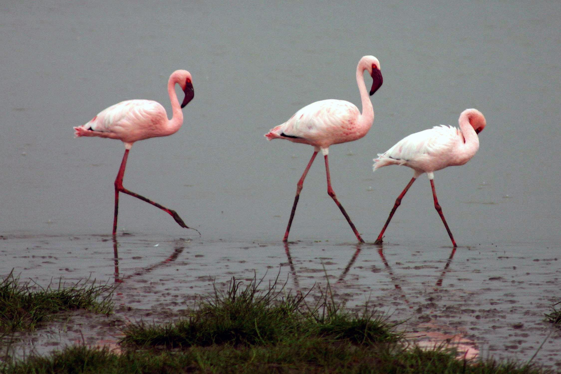 Lesser Flamingo wallpaper