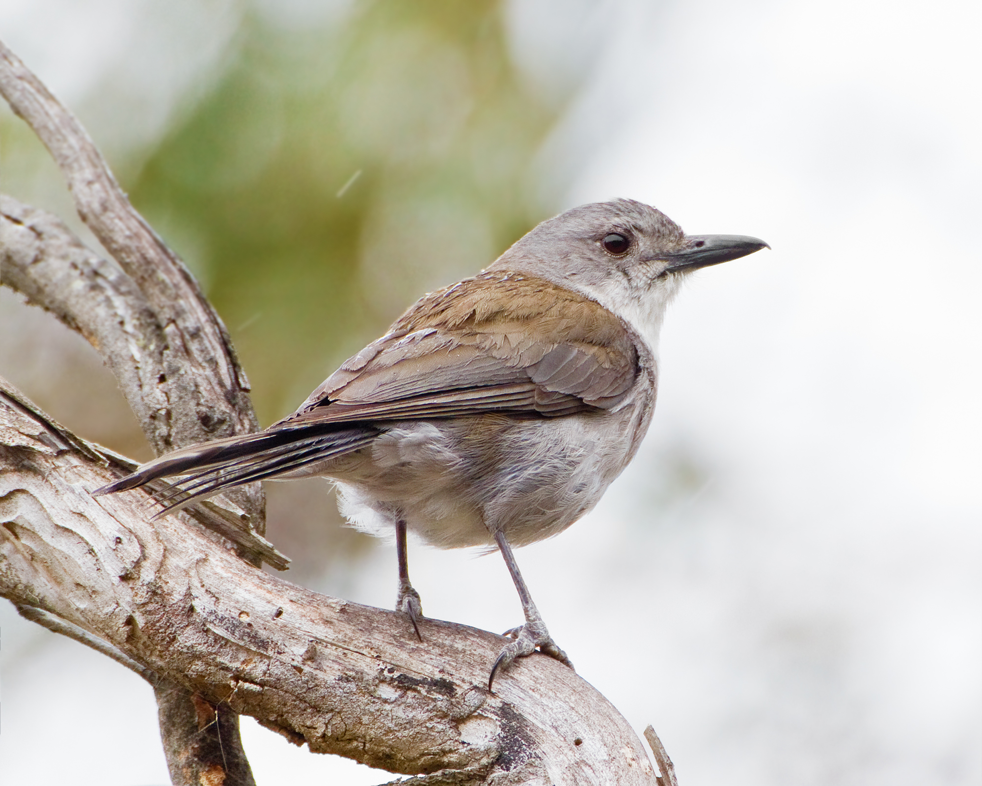 Grey Shrike-thrush wallpaper