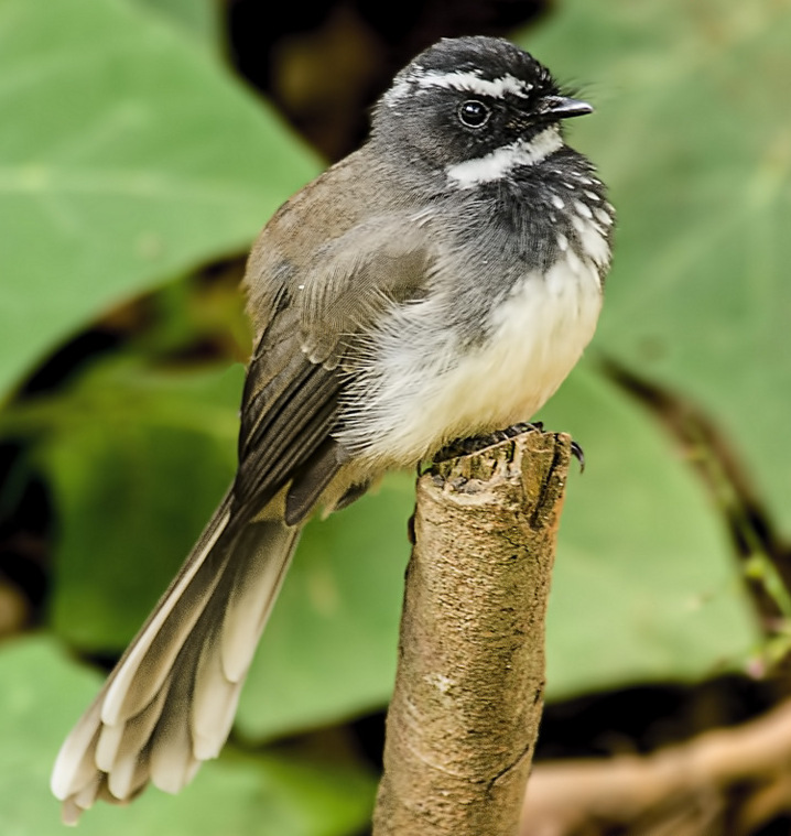White-throated Fantail wallpaper