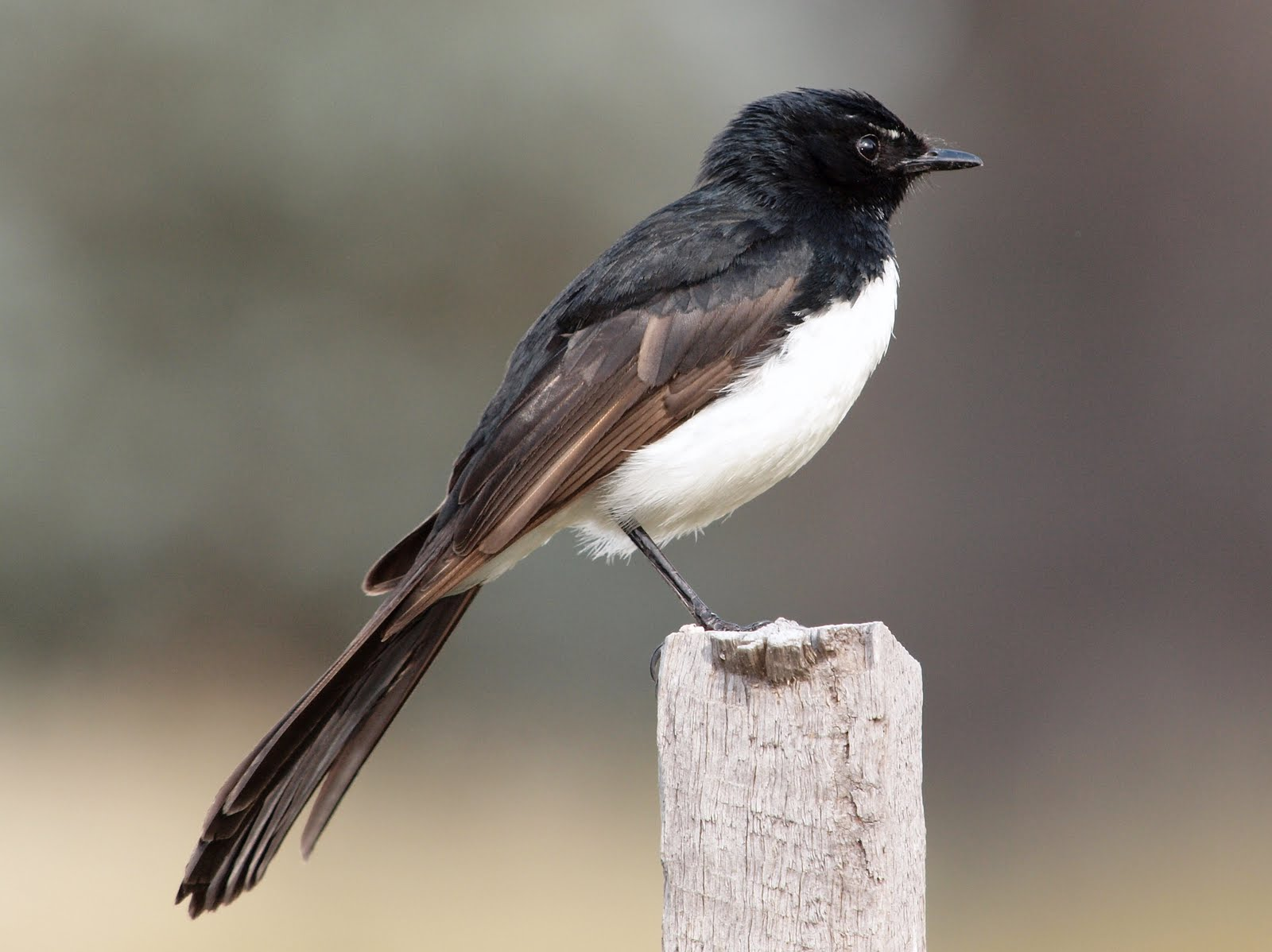 Willie Wagtail wallpaper
