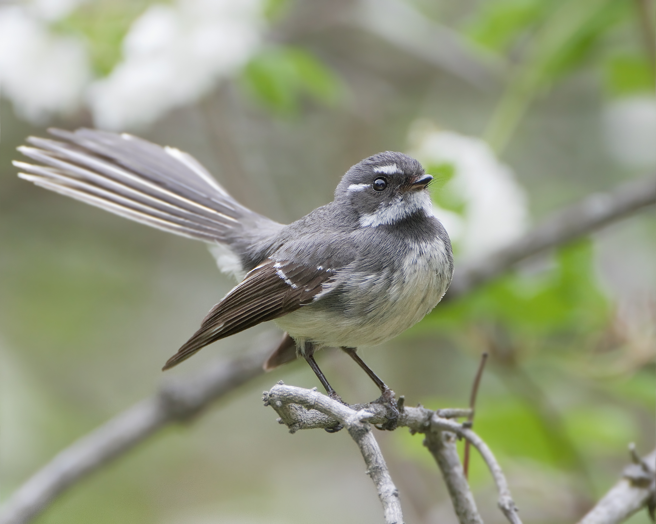 Grey Fantail wallpaper