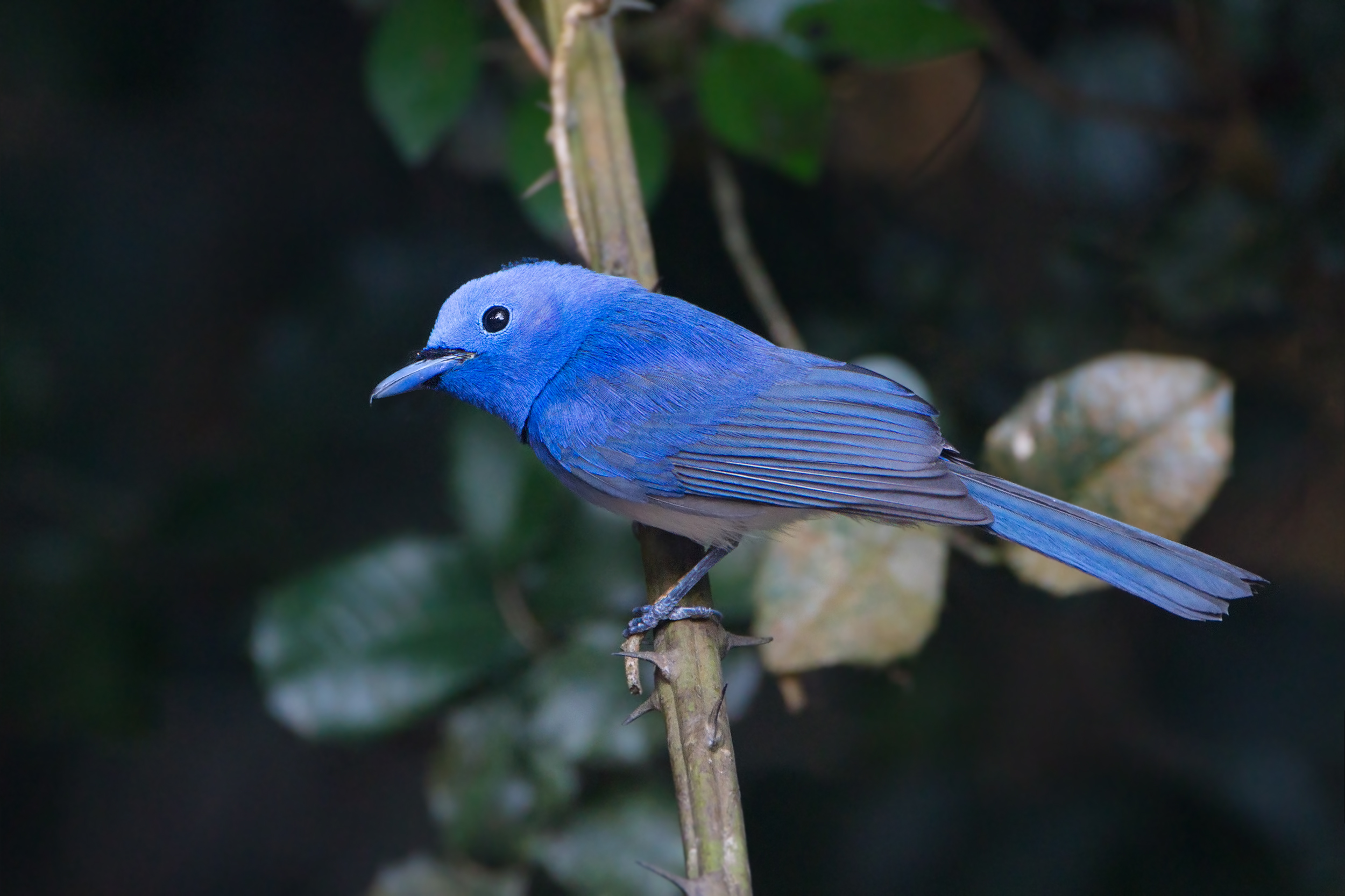Black-naped Monarch wallpaper