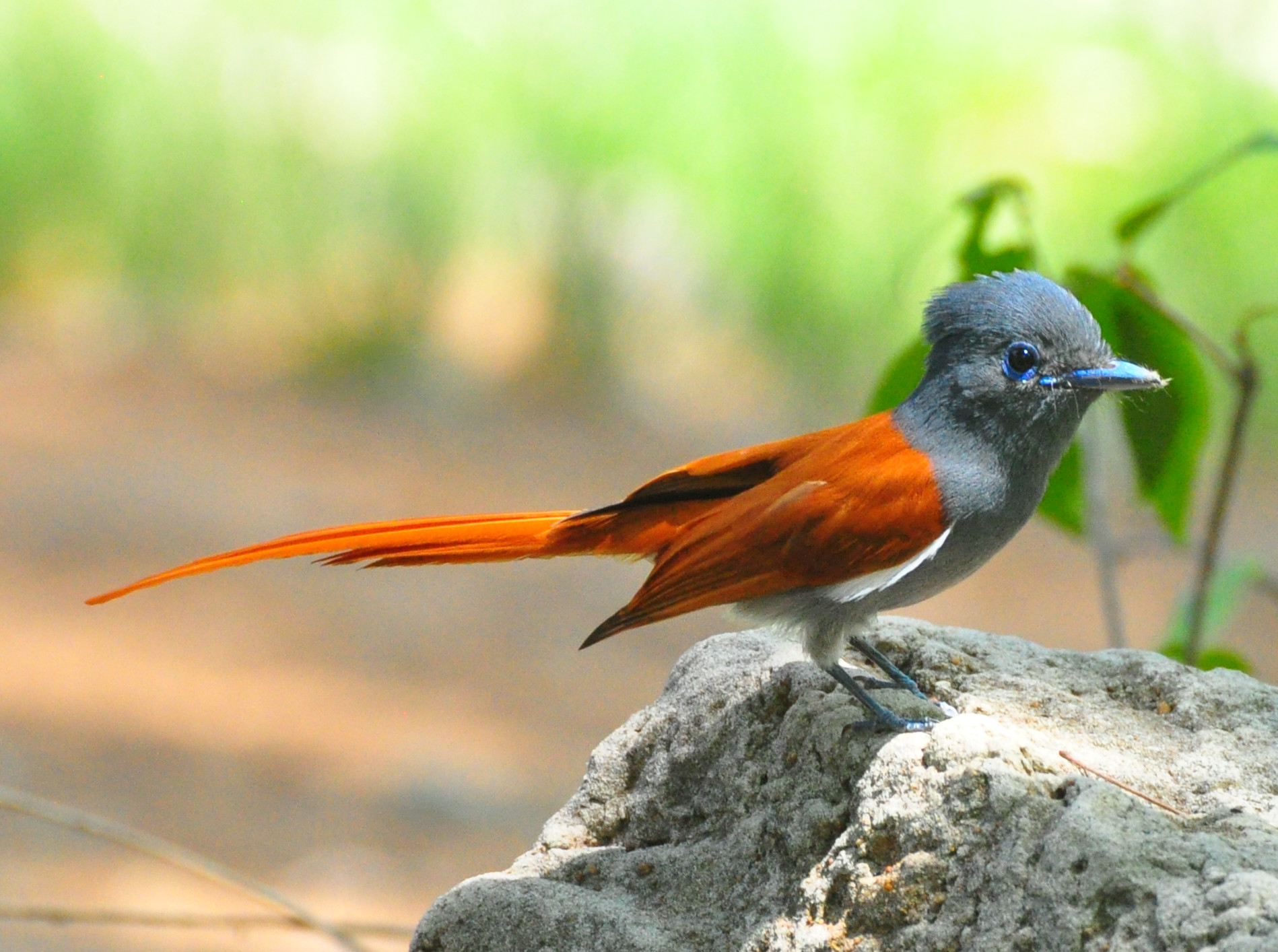 African Paradise-flycatcher wallpaper