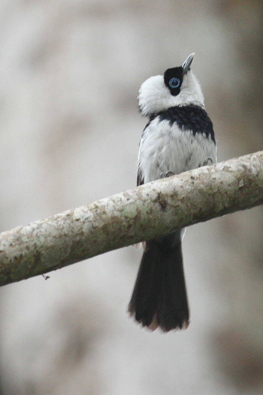 Pied Monarch wallpaper