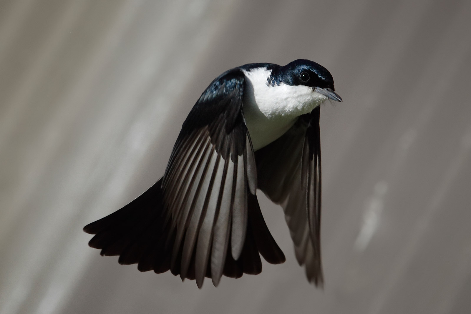 Restless Flycatcher wallpaper
