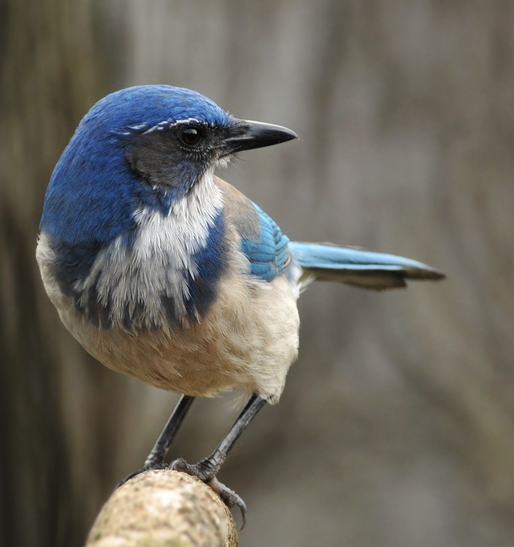Western Scrub-jay wallpaper