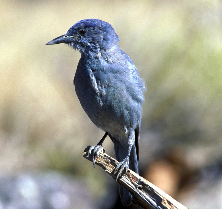 Pinyon Jay wallpaper