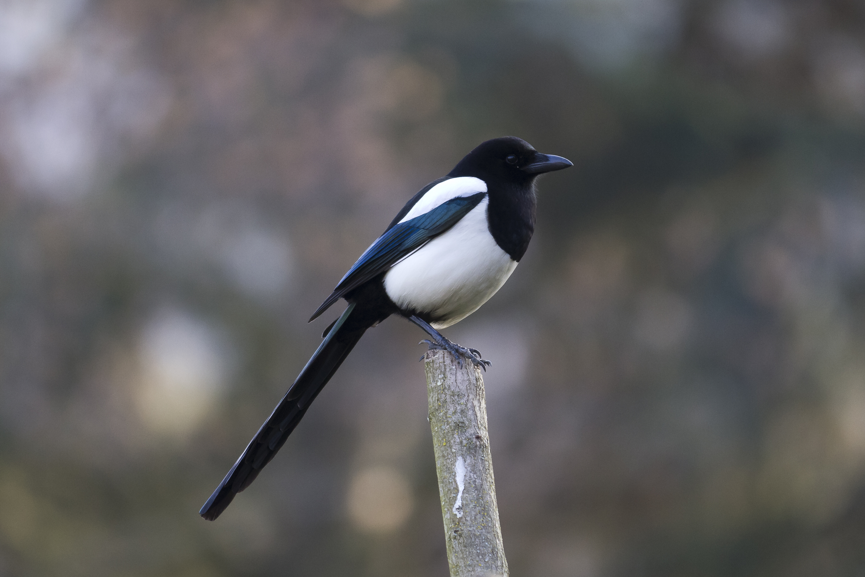 European Magpie wallpaper
