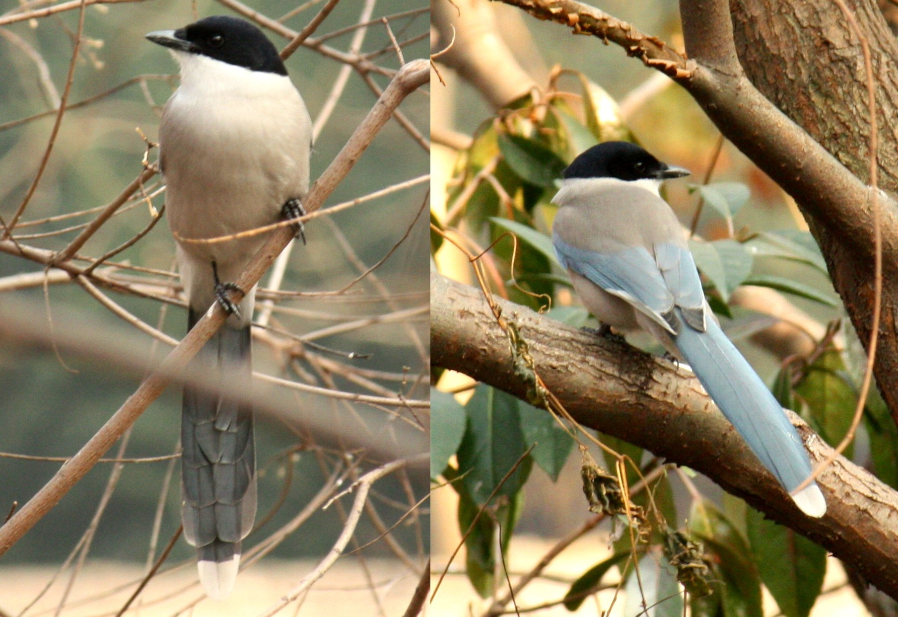 Azure-winged Magpie wallpaper