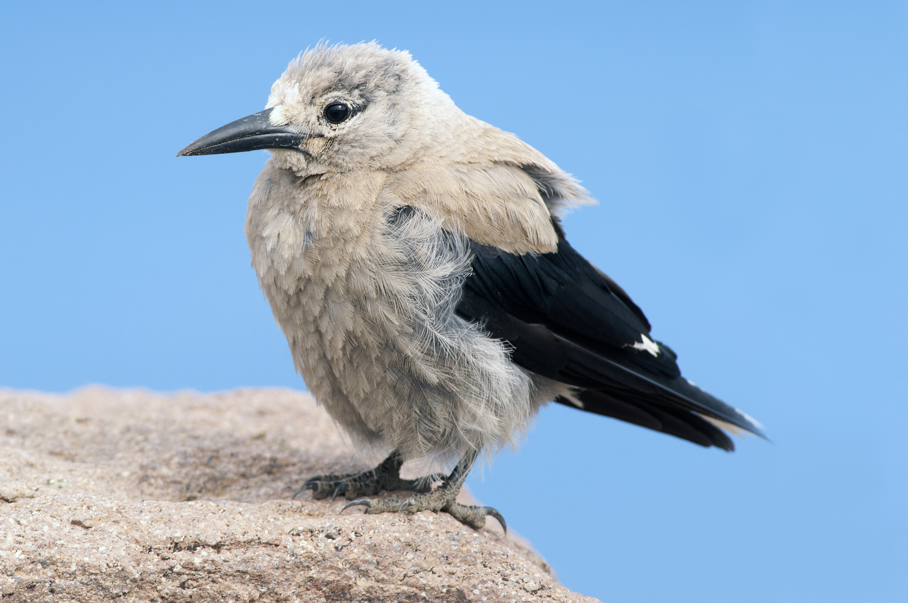 Clark's Nutcracker wallpaper
