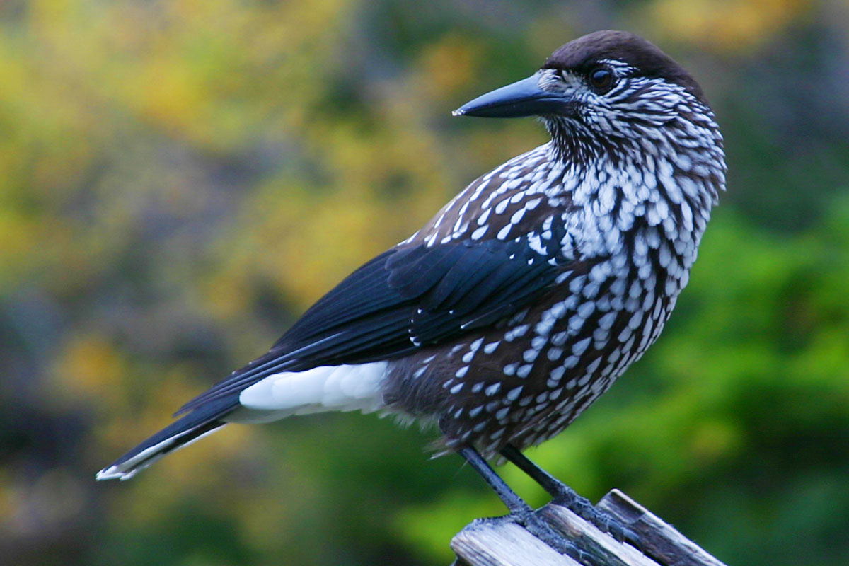 Spotted Nutcracker wallpaper