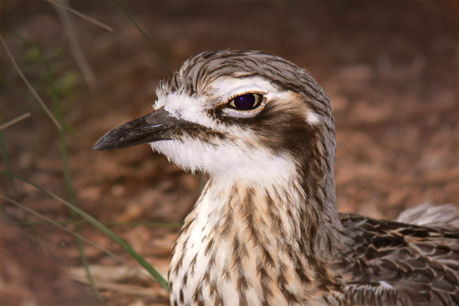 Eurasian Stone-curlew wallpaper